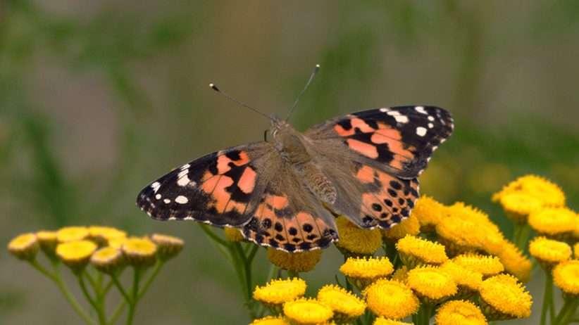 Lebende Schmetterlinge zum Aufziehen und Fliegen lassen